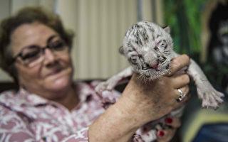 組圖:尼加拉瓜動物園 稀有白虎寶寶亮相