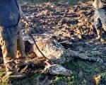 冰冻泥潭里濒死小马获救 在寄养家庭茁壮成长