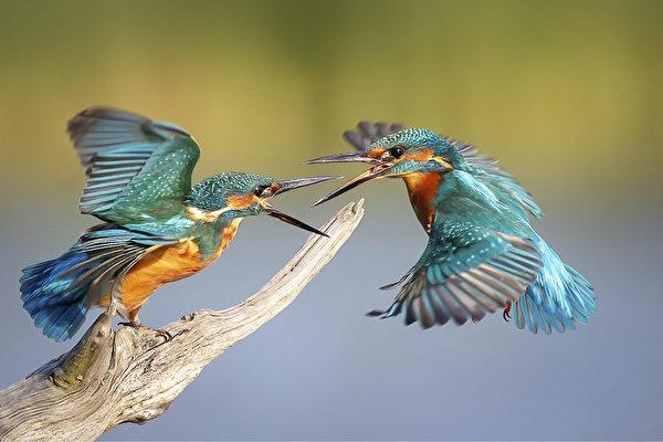「翠鳥對峙」精采照 獲英國攝影大賽冠軍