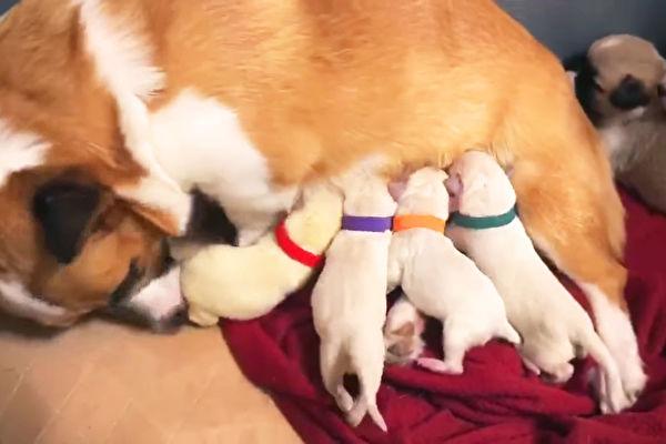 超温馨 柯基妈妈顺利收编四只拉拉幼犬