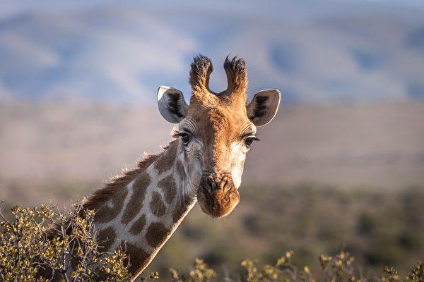 長頸鹿也有短腿族 身高只有同類的一半