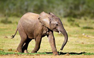 怀孕母象超音波扫描 小象有头有鼻子