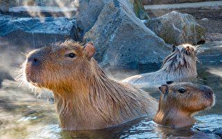 日本動物園的水豚比賽泡湯 冠軍泡了104分