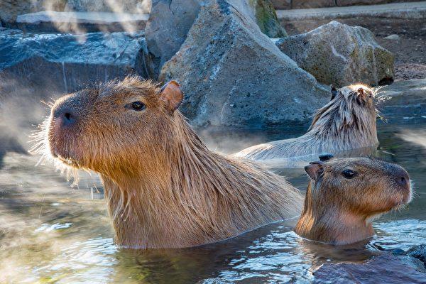 日本动物园的水豚比赛泡汤 冠军泡了104分