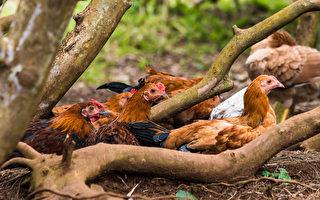 数千只野鸡占领夏威夷小岛 四处趴趴走