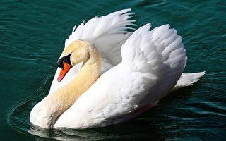 巡航失誤? 白天鵝「離奇」撞破阿嬤的窗戶