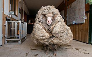 澳洲流浪綿羊像大毛球 剃毛35公斤差異驚人