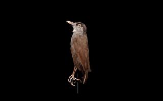 印尼罕见黑眉雅鹛 消失170多年后神秘现踪