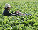 澳洲将推出新农业签证 从东盟引进劳动力