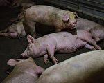從外省調運四川的生豬中查出非洲豬瘟疫情