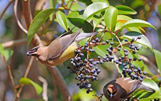 吃發酵莓果而酒醉 美德州小鳥出現異常行為