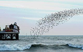 英女拍到成群椋鸟在海面上起舞 蔚为奇观