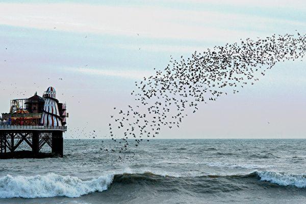 英女拍到成群椋鳥在海面上起舞 蔚為奇觀