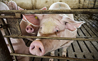 大陸豬價連跌5個月  豬企5月虧損面達9.7%