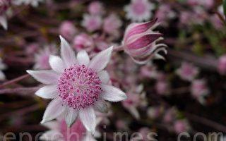 蓝山特有 粉红法兰绒花—人生难得一见
