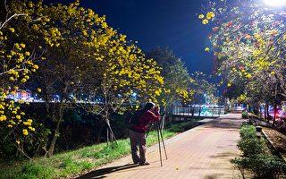 军辉桥畔黄花风铃木  越夜越美丽