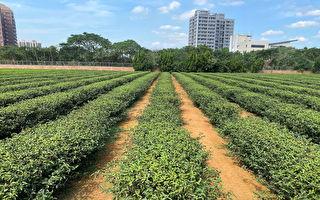茶改場附掛式植茶機  茶農種茶更簡單提早收益