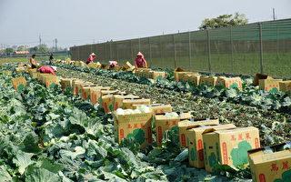 健豪公司採購10萬公斤高麗菜 和縣府一起挺農民