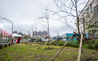 桃园种植百棵黄花风铃木 水汴头打造城市绿洲