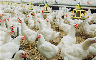 """""""为台湾骄傲  为自己骄傲""""国产鸡饲养技术与世界一起成长"""