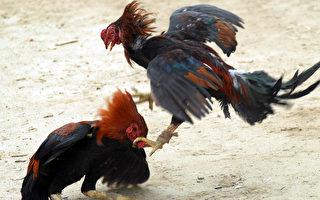 鬥雞又釀慘案 印度飼主遭自家雞「揮刀」刺死