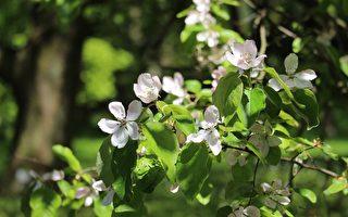 七绝:胜玉梨花