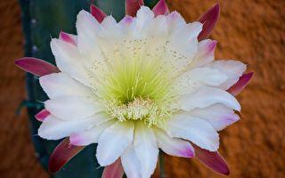 亚马逊雨林独有仙人掌 首次在英国开花