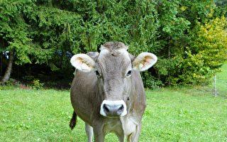 這隻牛很搞笑 走路像模特兒走伸展台