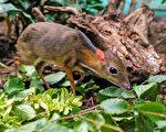 看起來像老鼠 世界最小的鹿僅重1公斤多