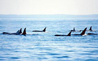 西澳70头虎鲸围攻16米长蓝鲸 搏斗4小时