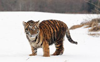 西伯利亞虎