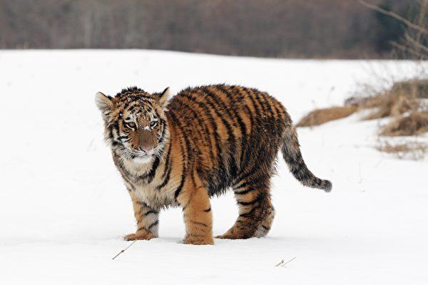 """游客涌入俄罗斯动物园 听这只幼虎""""唱歌"""""""
