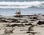 袋鼠島10歲海獅被箭射殺 引發調查追兇
