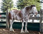 南澳維克多港40萬擴建馬厩 增設親馬活動
