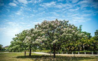 最美春游景点 北香湖公园苦楝盛开