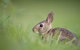 奇特兔子不会跑跳 却会倒立行走
