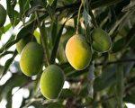 """印度""""芒果人""""培育的果树 会长出300种果实"""