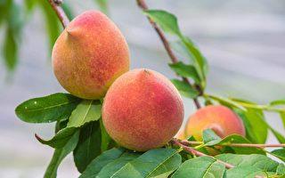 雨水少甜度高 那瑪夏水蜜桃甜蜜上市