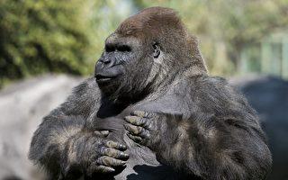 大猩猩為何左右捶胸?科學家新發現揭謎底