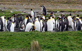 前所未見 攝影師南極幸運拍到金黃色企鵝