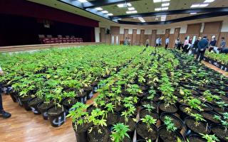 毒枭开山种大麻 台警调破获量创纪录
