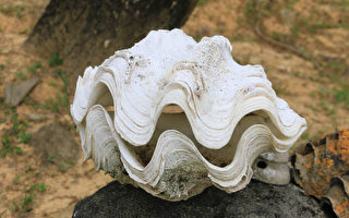 菲律賓當局繳獲價值2500萬美元的巨蛤殼