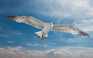 几百万人抢看的惊奇短片:海鸥骑海鸥