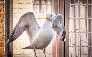 英男换门后 海鸥每天早上5点来叫全家人起床