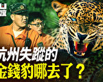 【有冇搞錯】杭州失蹤的金錢豹哪去了?