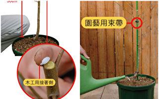 不失败的树苗移植法 种出好吃的果树盆栽