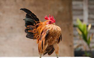世界上最小的鸡仅500克重 很会摆姿势