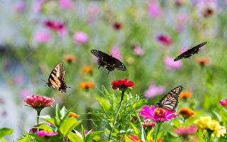 今夏最疗愈植物 9种百日菊陪你一起抗疫