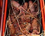 中共禁令失效 澳洲龙虾出口激增 热销中国