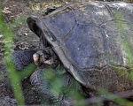 消失逾一世纪 罕见费尔南迪纳巨龟再现踪